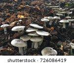 brown mushrooms leaf in pine...   Shutterstock . vector #726086419