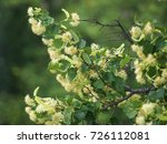 branches of a blooming lime...   Shutterstock . vector #726112081