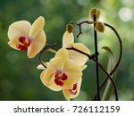 yellow orchids on a blurred...   Shutterstock . vector #726112159