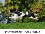 Dog Breed English Springer...