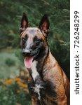 Small photo of Belgian Shepherd dog (Malinois dog) at autumn park