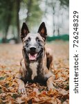 Small photo of Belgian Shepherd dog (Malinois dog) at autumn park
