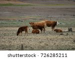 five cows with calves in the... | Shutterstock . vector #726285211