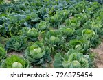 cabbage growing in the field in ... | Shutterstock . vector #726375454