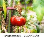 fresh tomatoes | Shutterstock . vector #726448645