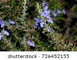 rosemary  rosmarinus... | Shutterstock . vector #726452155