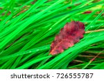 dry red leaf on the fresh green ... | Shutterstock . vector #726555787