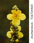 Common Mullein Or Verbascum...