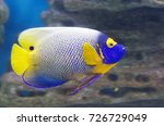 blue face angelfish. the large... | Shutterstock . vector #726729049