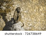 chacma baboon in kruger... | Shutterstock . vector #726738649