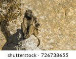 chacma baboon in kruger... | Shutterstock . vector #726738655