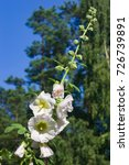 Small photo of Blossom Common Hollyhock, Alcea Rosea, close-up with bokeh background, selective focus, shallow DOF.