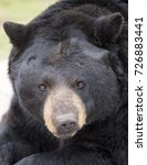 Small photo of Close up facial image of an American Black Bear with shallow depth of field