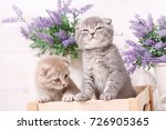 gray cat looks into the camera... | Shutterstock . vector #726905365