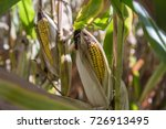 corn on stalk 3 in shade two... | Shutterstock . vector #726913495