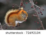 Red squirrel eating berries of ash tree - stock photo