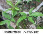 arrrowhead plant with medicinal
