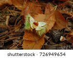 Sweet Chestnut Open With A...