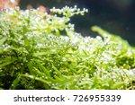 aquatic plant rotala green'... | Shutterstock . vector #726955339