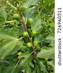 Small photo of Fig tree; Ficus carica; figs; Exotic fruit
