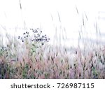 Small photo of Autumnal sunset purple natural background, natural texture, selective focus, soft tones. Aegilops geniculata, spike of ovate goatgrass
