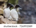 thick billed murre  uria lomvia ... | Shutterstock . vector #726992089