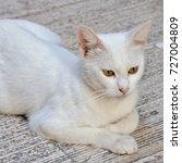 white urban cat  | Shutterstock . vector #727004809