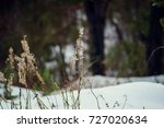 Dry Plant In Snow. Grass In...