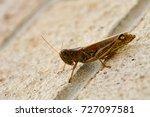 Small photo of North American Grasshopper