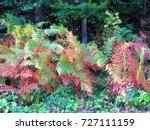 Common Bracken  Pteridium...