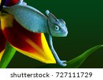 young blue chameleon on a... | Shutterstock . vector #727111729