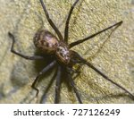 Small photo of Black Lace Weavers Spider C, Amaurobius ferox, Shallow Depth of Field, Autumn 2017 Macro Nature Photography