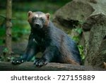 detail portrait of wild... | Shutterstock . vector #727155889