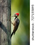 woodpecker from costa rica ... | Shutterstock . vector #727155895