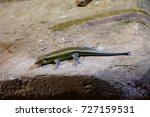 lizard on a stone   Shutterstock . vector #727159531