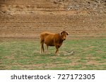 brown cow grazing in the field | Shutterstock . vector #727172305