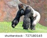 Western Lowland Gorilla ...