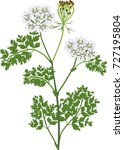 Queen Anne's Lace Or Wild...