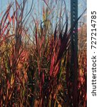 Small photo of Tall red and green grasses sway in the wind.
