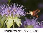 Hummingbird Moth  Hemaris...