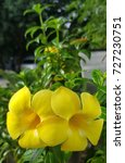 Small photo of yellow flower of allamanda cathartica.