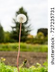 Small photo of dandelion Taraxacum sect. Ruderalia Cichorieae flower close up abstract view