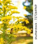 Goldenrod Or Solidago Yellow...