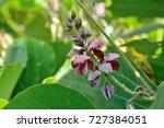 Flowers of kudzu  pueraria...