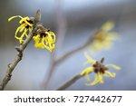 blooming witch hazel  hamamelis ... | Shutterstock . vector #727442677