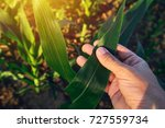 Agronomist Examining Corn Maiz...