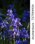 siberian iris   iris sibirica  | Shutterstock . vector #727594954