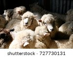 romney sheep in shearing shed ...