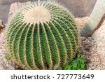 echinocactus grusonii in the... | Shutterstock . vector #727773649