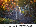 gopher long tailed also known... | Shutterstock . vector #727830667